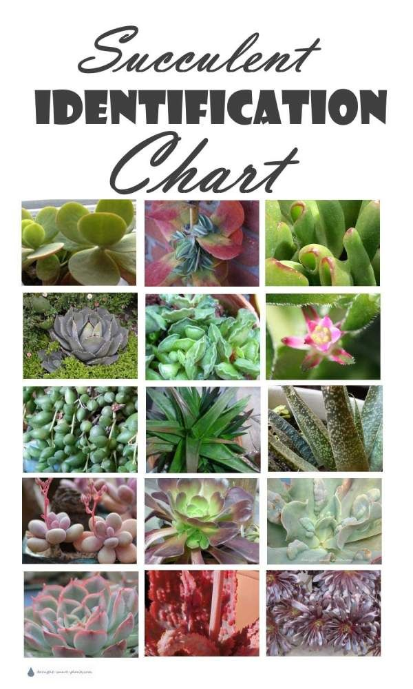 Succulent Identification Chart Find Your Unknown Plant Here Planting Succulents Types Of Succulents Plants Flowering Succulents