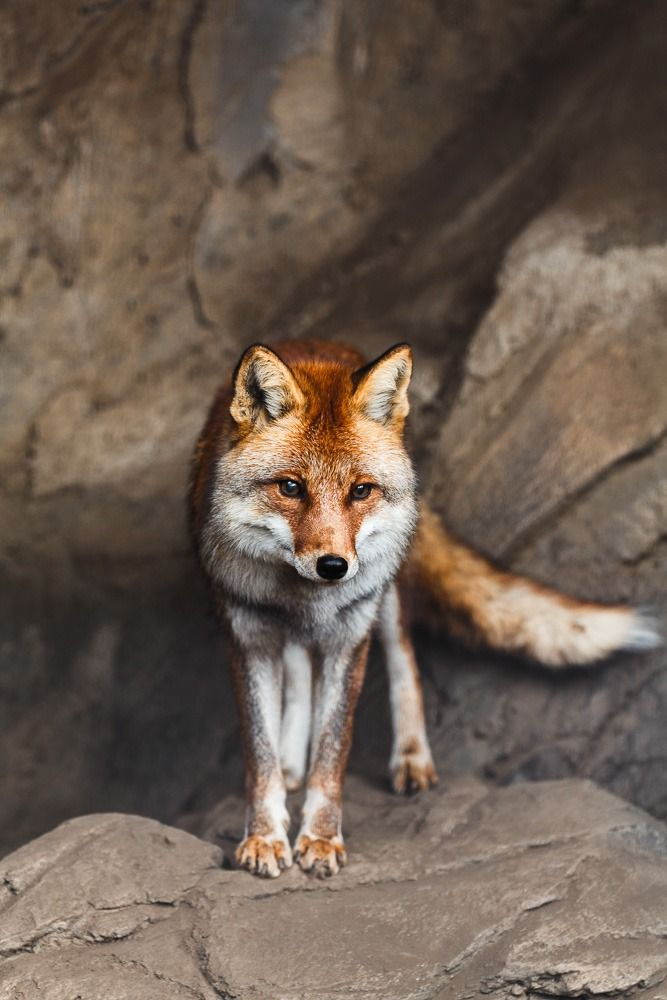 Cute cartoon fox with a large tail and pointed nose. :) | Animals ...