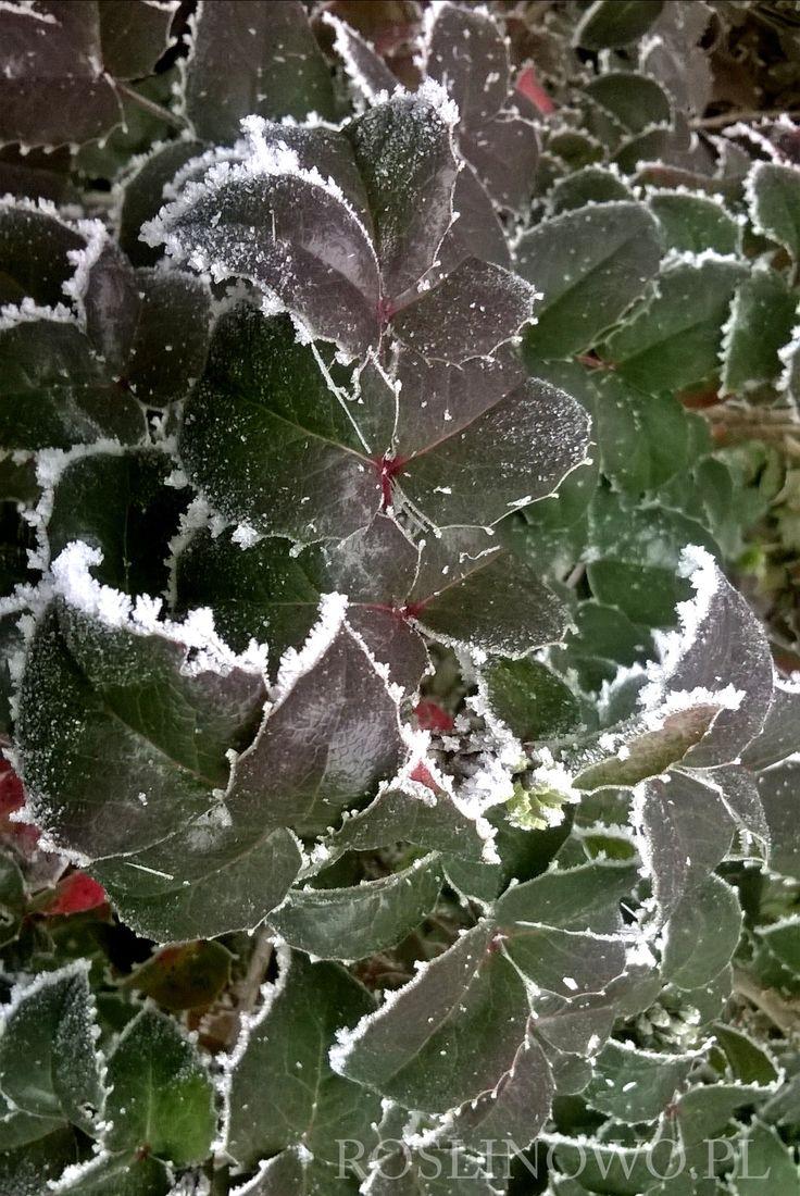 mahonia pospolita - dekoracyjne brzegi liści