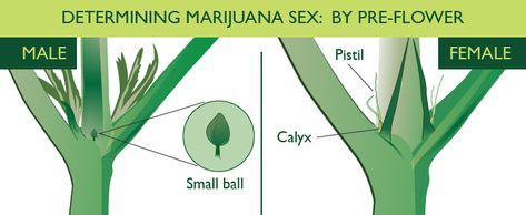 Identifying Males and Females Cannabis Plants http://thehempoilbenefits.com