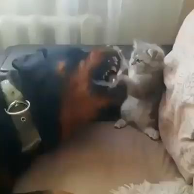 Brave KITTEN Stands Up to Dogs