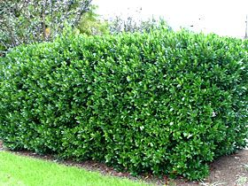 Pretty sure Carloina Laurel cherry is going to be the hedge that we want. Low allergens, tolerates part shade to full sun.
