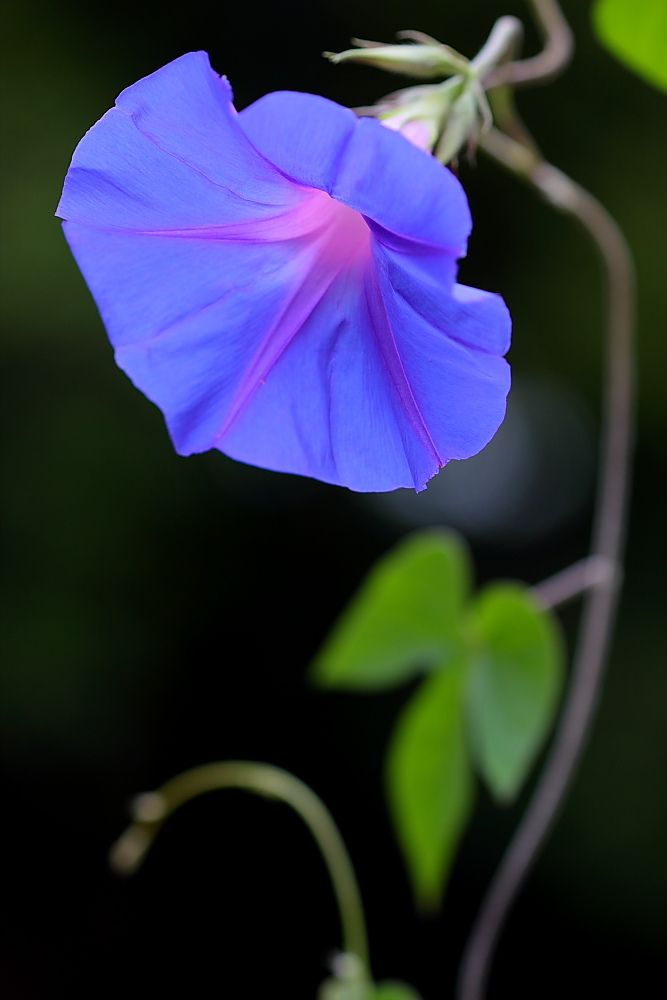 ~~Morning Glory in the Morning • Heavenly Blue • by gatorlink~~
