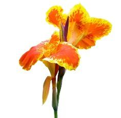 Canna Lily Bulbs For Sale | Buy Cannas in Bulk/Packet
