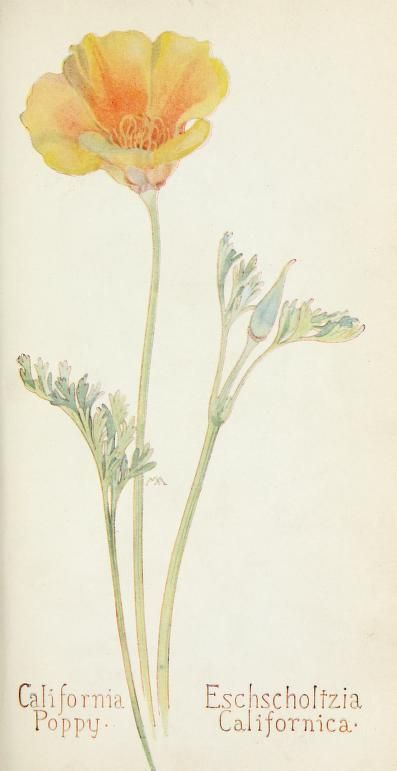 Field book of western wild flowers by Margaret Armstrong - 1915