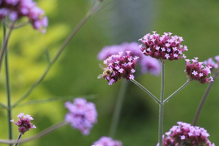 Verbena kvete neúnavně a krásně. Jen do vázy to moc není, rychle uvadá.