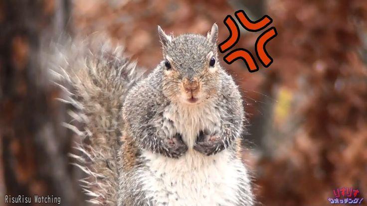 Crazy squirrel call caught on film! #aww #Cutesquirrels #squirrel #boopthesnoot #cuddle #fluffy #animals #aww #socute #derp #cute #bestfriend #itssofluffy #rodents #squirrelsofpinterest