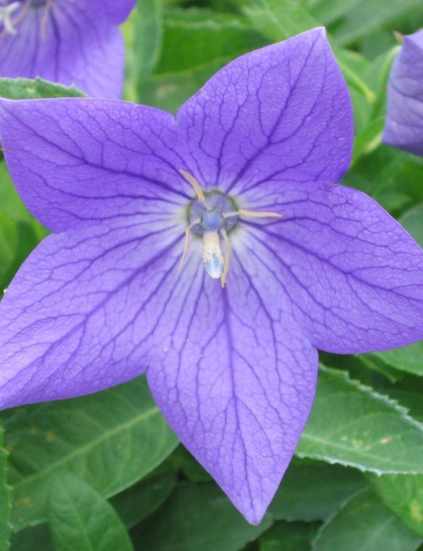 Perennial Platycodon Grandiflorus Sentimental Blue Zone 3 8 Flowers Large Blue Balloon Shaped Buds Ope In 2020 Part Shade Flowers Rock Garden Plants Shade Flowers