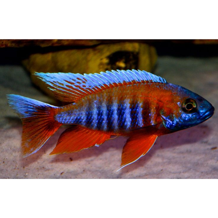 1000+ images about Fish - Freshwater on Pinterest Malawi cichlids ...