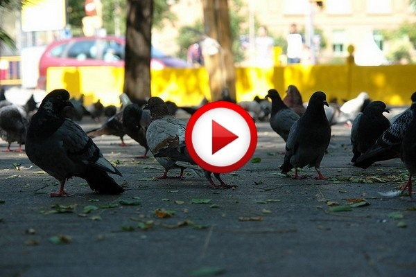 Chihuahua Wreaks Terror Upon Pigeons Video #animals, #dogs, #birds, #funny, #videos, https://facebook.com/apps/application.php?id=106186096099420