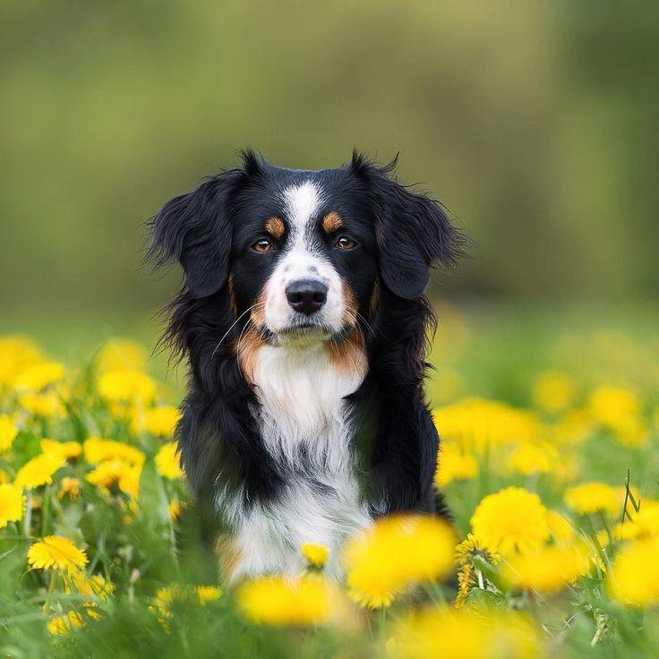 """""""My perfect model! """" writes @miniaussie_joy.  #dogsofinstagram #australian #shepherd @dogsofinstagram"""