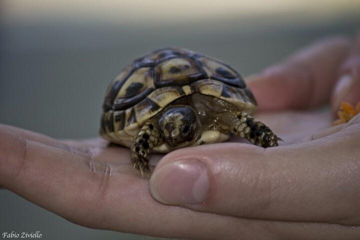 Tartaruga nel palmo