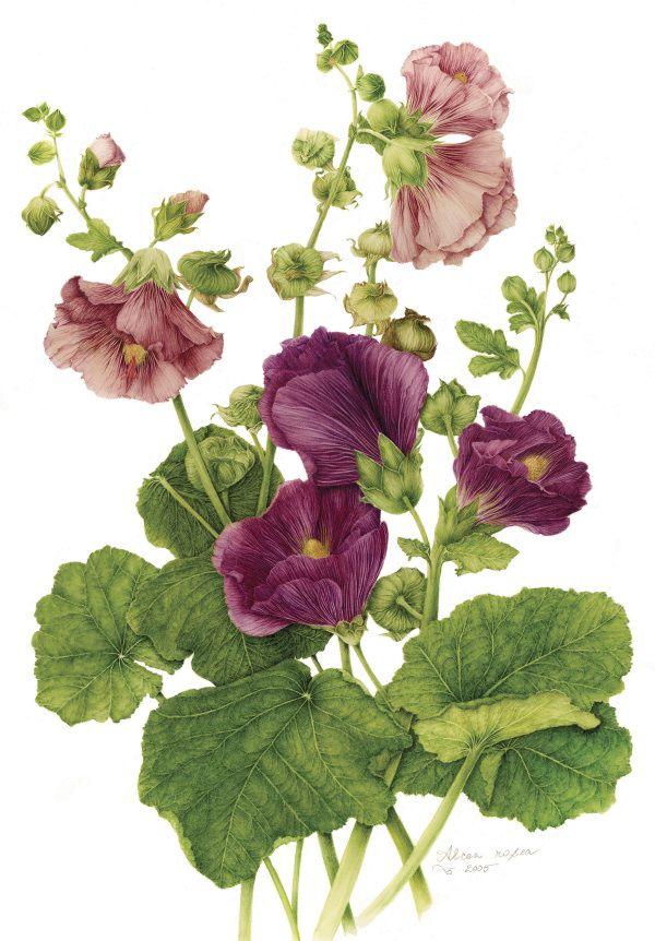 Hollyhock - Alcea rosea - botanical illustrations by milly acharya