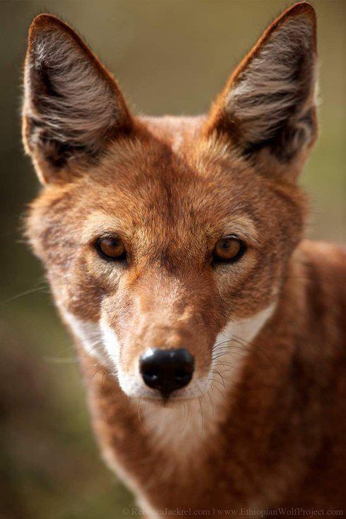 Ethiopian Wolf | Animals | Ethiopian wolf, Wolf, Wolf photos