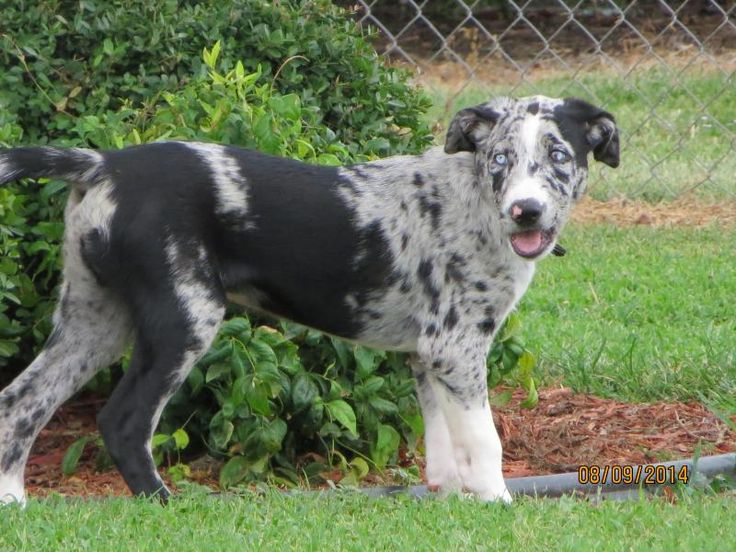 Taz is an adoptable Catahoula Leopard Dog searching for a forever family near Henrietta, TX. Use Petfinder to find adoptable pets in your area.