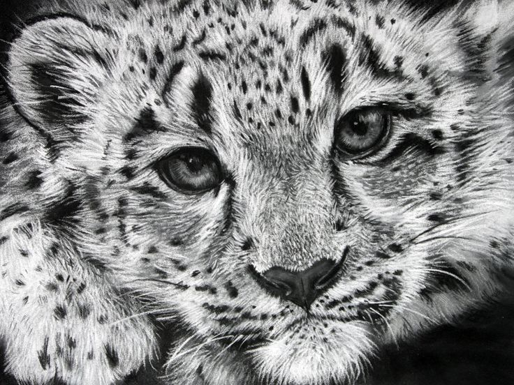 How To Draw A Snow Leopard Cute And Easy Step By Step 5244456