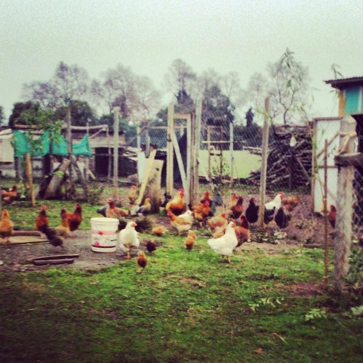 Pollos in the Mapuche campo // #mapuche  missionmapuche.org