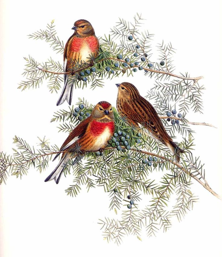 common linnet linaria cannabina by john gould. Black Bedroom Furniture Sets. Home Design Ideas