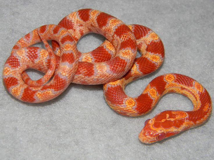 Amelanistic Palmetto Corn Snake