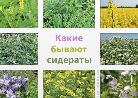 какие растения можно и нужно использовать в качестве сидератов