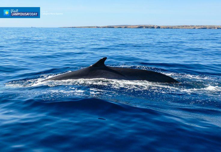 Balene a Lampedusa. Il whalewatching