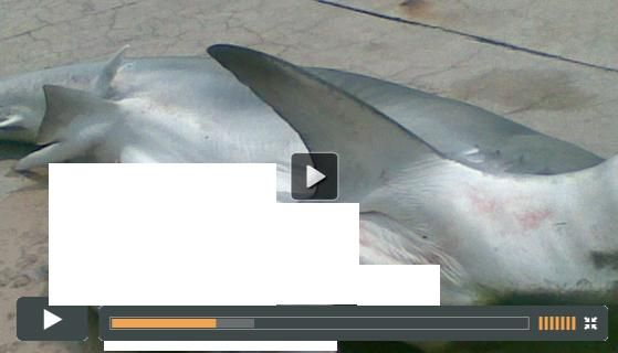 """Uncut Video Rare - Mermaid Found Inside a Shark - Facebook Video Scam: The Facebook video post: """" [UNCUT VIDEO] RARE! Mermaid found inside a shark!"""", which takes Facebook users to a fake Facebook website, in an attempt to trick them into sharing it or completing surveys, by promising to show them a video depicted by the image in the Facebook post, is a scam. There is no video...."""