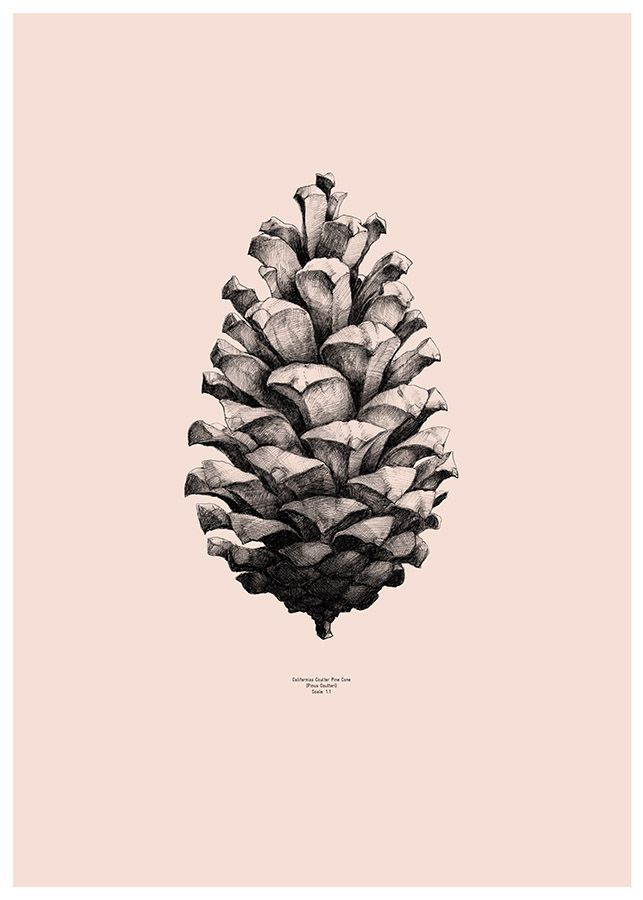 pinecone - pomme de pin ou pigne de pin/ dessin