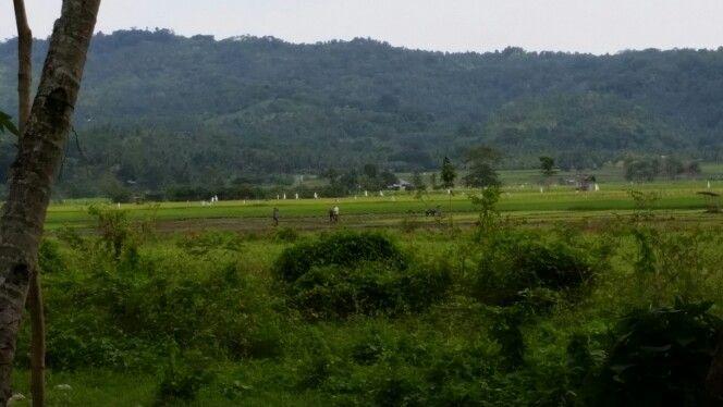 Aumbay rice fields