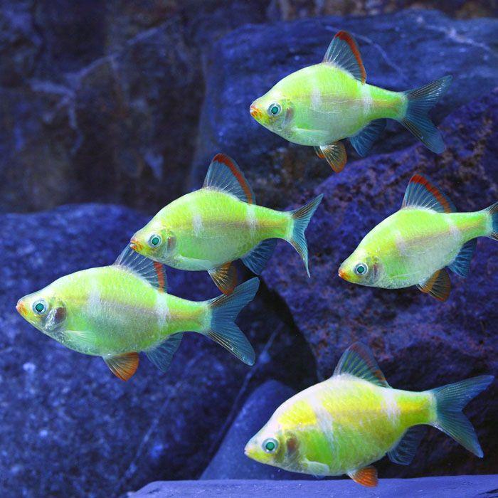 Albino electric green glofish barb puntius tetrazona for Pretty freshwater fish