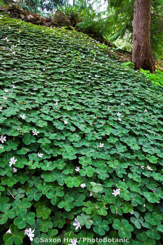 redwood sorrel oxalis oregana shady woodland groundcover in california native plant garden