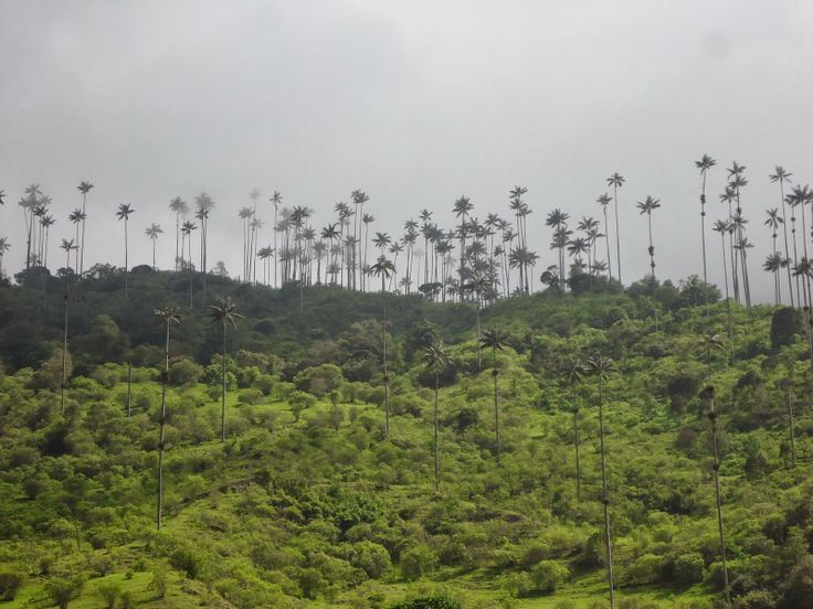 "#Colombia, #Salento, #Cocora #Cocoravalley "" Palm trees on the mountains 