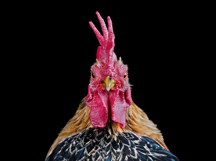 The Serama is the smallest chicken in the world, but it packs plenty of personality