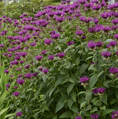 monarda purple rooster - Google Search