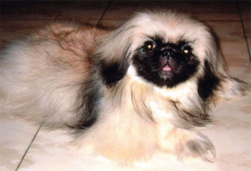 pekingese puppy - Pets and Pets for Sale