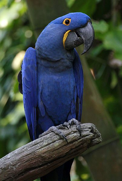 Glaucous macaw - was native to north Argentina, south Paraguay, Chaco and llano region of Bolivia drew near to the city of Santa Cruz de la Sierra, north-east Uruguay and Brazil (classified as Critically Endangered (CR) by the IUCN Red List)
