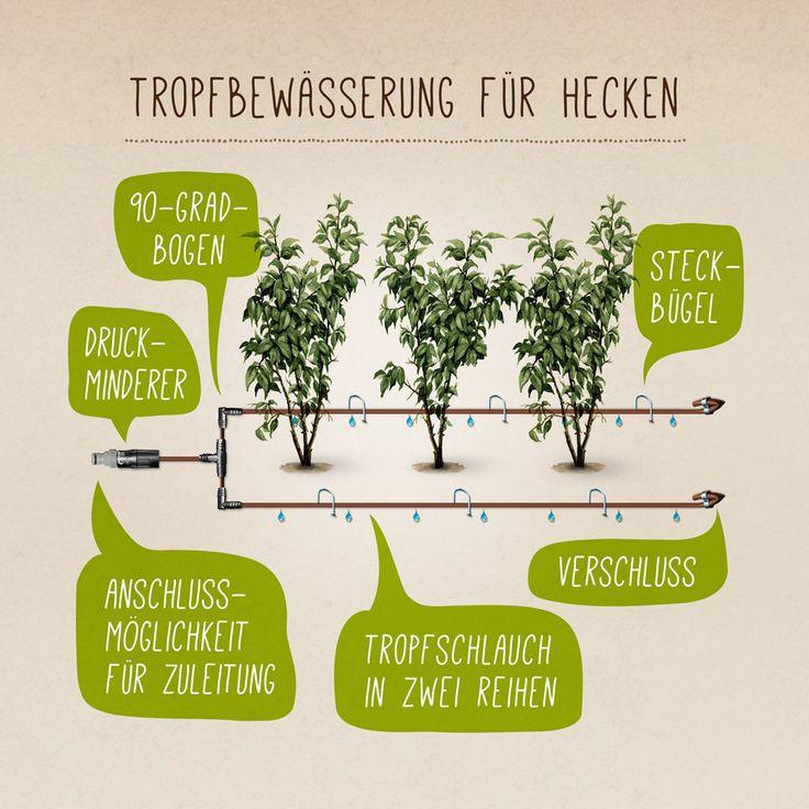 Heckenkirsche 'Maigrün' (syn.Heckenmyrte) - Lonicera nitida 'Maigrün' Dieser schnellwachsende, immergrüne Strauch ist als Bodendecker, aber auch als schnittverträgliche Einfassungspflanze gut geeignet. Er hat lange, überhängende Triebe...
