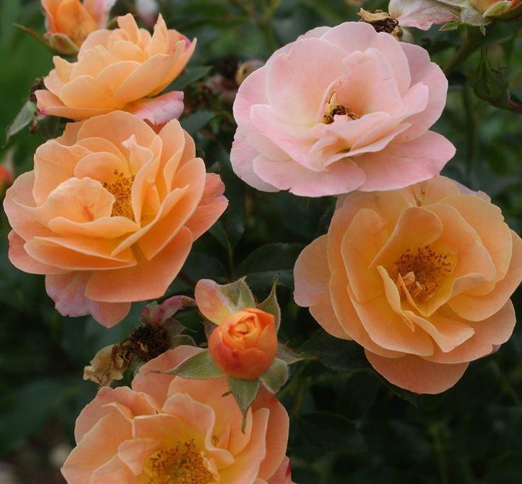 Amber Carpet Roses