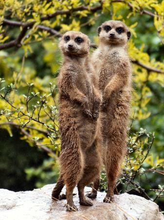 Edinburgh Zoo: Meerkats