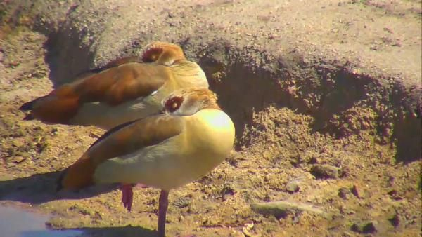 Egyptian Geese at Nkorho. - Oct 5 2016 - 9:50am | Africam