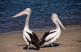 Pelicans, Meri, Beach, Lintu, Black