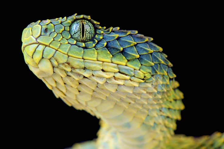 The Bush viper is a magnificent looking venomous tree viper species from Central Africa.