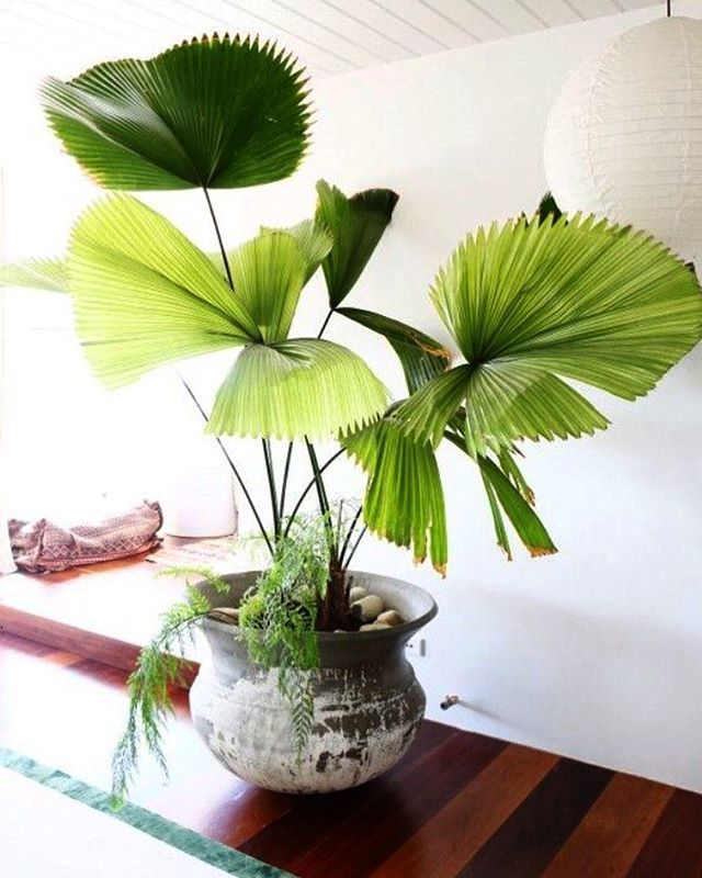 Licuala Grandis- ruffled fan palm is perfect indoors as long as she stays warm and shaded. She likes the humidity and may need a mist-spray occasionally... The queen she is
