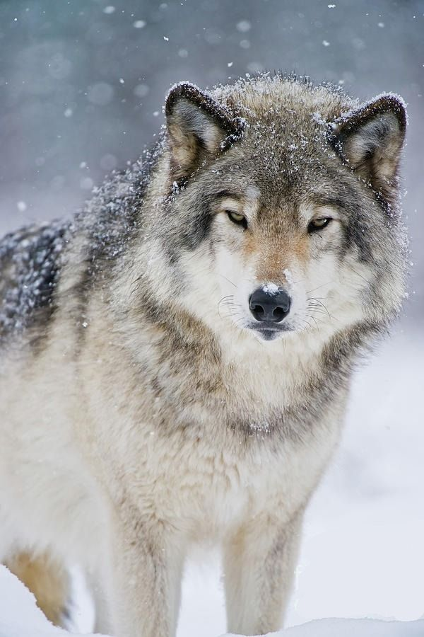 "beautiful-wildlife: ""Timber Wolf by © Wolves Only """