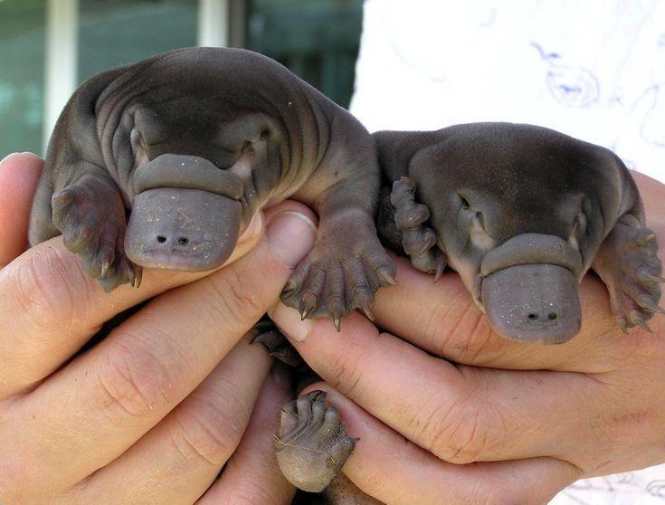 Une paire de bébés ornithorynques