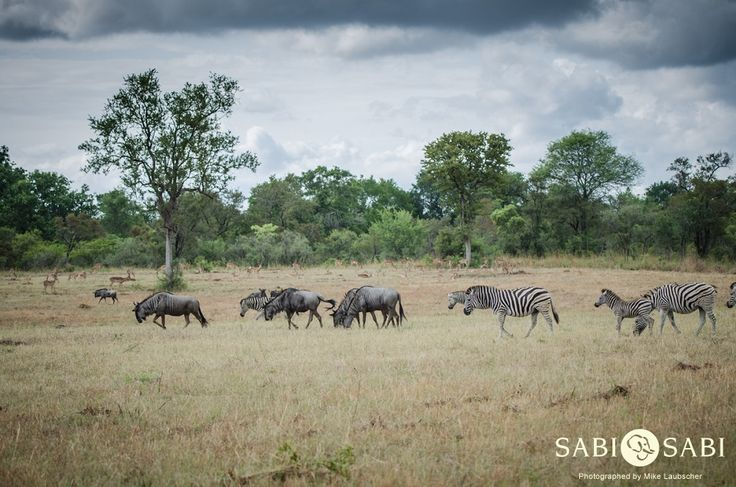 We had a spectacular sighting of a large congregation of wildebeest, zebra and impala.