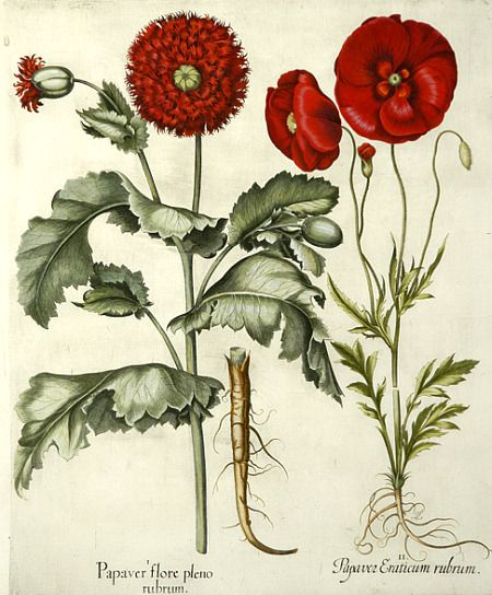 Basilius Besler  Double flowered Red Garden Poppy, Corn Poppy  1613