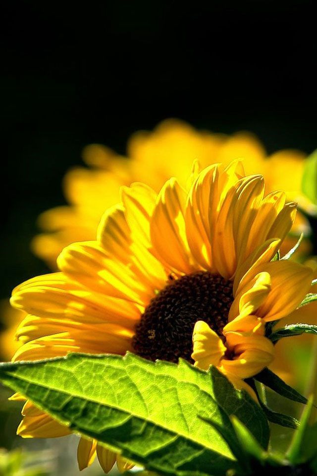 sunflower black personals The black oil sunflower seeds are commonly used for feeding birds seeds used as bird food are known as sunflower hearts seeds used as bird food are known as sunflower hearts the inedible shell or hull of these fruits is used for production of.