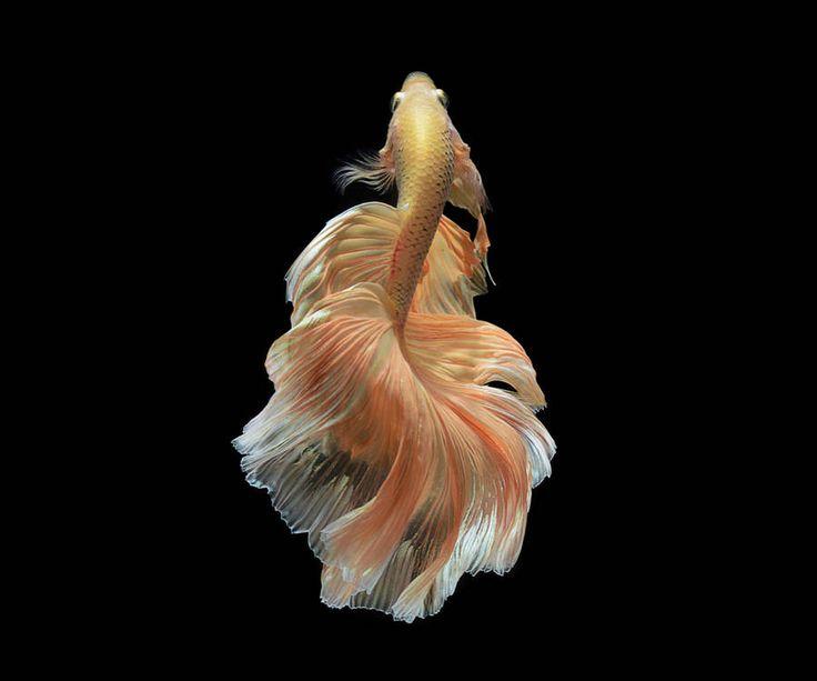 pez betta