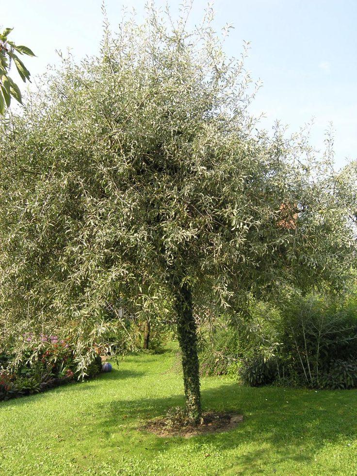 Hausbäume - Die  Weidenblättrige Birne (Pyrus salicifolia) ist ein kleiner Baum mit kurzem, häufig drehwüchsigem Stamm (vier bis sechs Meter hoch, im Alter meist genauso breit). Sie hat waagerecht ansetzende, oft knieförmig abwärts gebogene Hauptäste und malerisch weit herabhängende Zweige. Noch stärker ausgeprägt ist die Hängeform bei Pyrus salicifolia 'Pendula'. Die Weidenblättrige Birne entwickelt sich auf einem sonnigen Standort und durchlässigen, frischen Böden am besten.