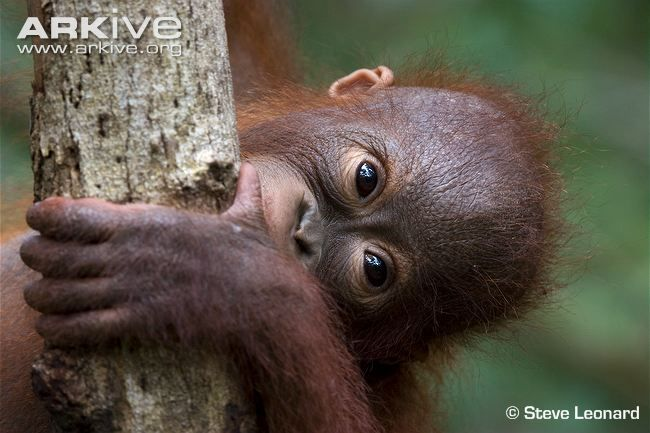 Bornean orangutan juvenile biting tree - View amazing Bornean orangutan photos - Pongo pygmaeus - on ARKive